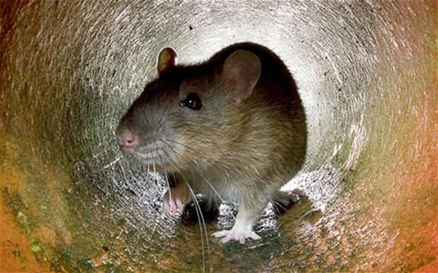 sewer-rat